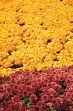 маргаритка цветет gerbera Стоковая Фотография RF