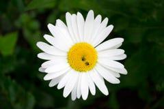 Маргаритка цветка с пчелами Стоковая Фотография