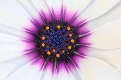 маргаритка цветка closup стоковое изображение rf