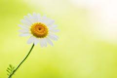 Маргаритка, цветок стоцвета на зеленом цвете стоковая фотография rf