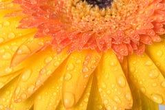 маргаритка Стоковые Фотографии RF
