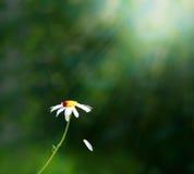 маргаритка Стоковая Фотография RF