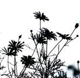 маргаритка Стоковые Фото