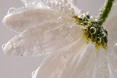 маргаритка Стоковые Изображения RF
