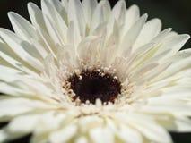 Маргаритка Gerber, дендропарк Далласа, Техас Стоковое Фото