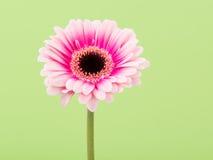 Маргаритка Gerber на зеленом цвете Стоковая Фотография