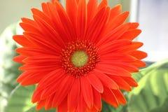 Маргаритка Gerber оранжевые или красные gerberas цветка в цветочном горшке на окне домашние заводы, требующий много времени проце стоковые фотографии rf