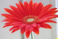 Маргаритка Gerber оранжевые или красные gerberas цветка в цветочном горшке на окне домашние заводы, требующий много времени проце стоковые фото