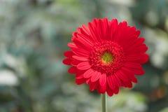 Маргаритка gerbera крупного плана красивая красная и красочный пастельный цветок Красная маргаритка gerbera на blackground сада з Стоковое Фото