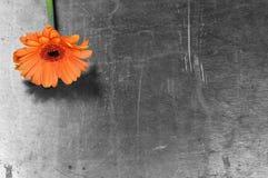 Маргаритка Gerbera на ржавой предпосылке Предпосылка дня матерей стоковые фото