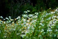 Маргаритка Oxeye в саде стоковые изображения