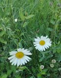 Маргаритка oxeye зеленой травы цветка Стоковое фото RF