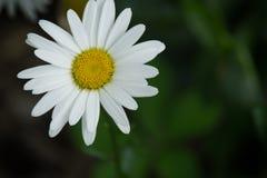 Маргаритка Oxeye - Leucanthemum Vulgare Стоковые Фото