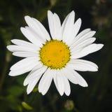 Маргаритка Oxeye, vulgare Leucanthemum, макрос цветка с предпосылкой bokeh, селективным фокусом, отмелым DOF стоковые изображения rf