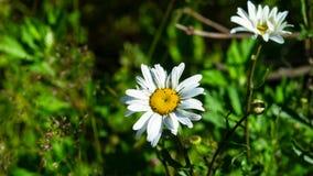 Маргаритка Oxeye, vulgare Leucanthemum, цветок в макросе засорителя с предпосылкой bokeh, выборочным фокусом, мелким DOF стоковая фотография