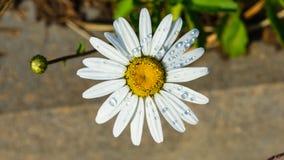 Маргаритка Oxeye, vulgare Leucanthemum, цветок с макросом дождевых капель с предпосылкой bokeh, выборочным фокусом, мелким DOF стоковые фотографии rf