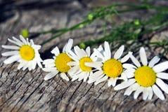 Маргаритка perennis Bellis общая, маргаритка лужайки или английские цветки маргаритки на деревянной предпосылке стоковые фотографии rf