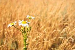 Маргаритка perennis Bellis общая, маргаритка лужайки или английский цветок маргаритки Стоковое фото RF