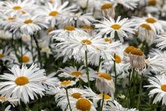 Маргаритка Shasta белая стоковые фотографии rf