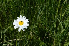 Маргаритка Shasta на свеже зеленом луге Стоковые Фотографии RF