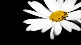 Маргаритка Shasta Стоковое фото RF