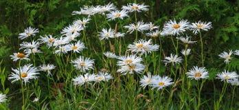 Маргаритка Shasta Leucanthemum максимальная, максимальная хризантема, маргаритка сумасшедшая, колесо, цепь, chamomel, челка шатии стоковое фото