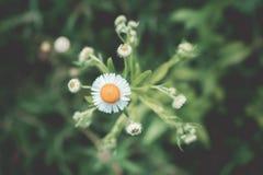 маргаритка, vulgare Leucanthemum Маргаритка в саде конец-вверх маргаритки головы Ретро и винтажный взгляд Стоковые Фотографии RF