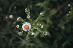 маргаритка, vulgare Leucanthemum Маргаритка в саде конец-вверх маргаритки головы Ретро и винтажный взгляд Стоковое Изображение RF