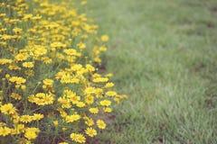 Маргаритка Wildflower желтая засаживая предпосылку текстуры, концепцию фона стоковое изображение rf