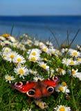 маргаритки бабочки стоковые изображения
