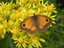 маргаритки бабочки стоковые фотографии rf
