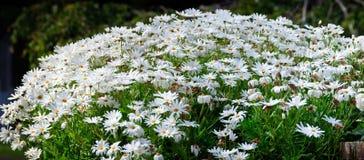 маргаритки белые Стоковая Фотография