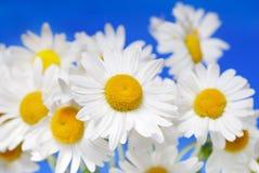 маргаритки белые Стоковые Фото