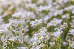 Маргаритки белых цветков Стоковые Фотографии RF