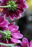 Маргаритки виноградины фиолетовые улавливая свет Стоковые Изображения