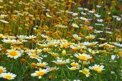 Маргаритки Вол-глаза в солнечности Стоковое Фото