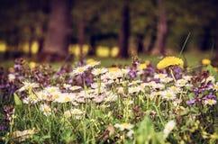 маргаритки Вол-глаза и желтые одуванчики в луге Стоковые Изображения