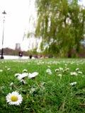 Маргаритки в парке Стоковое Изображение