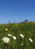 Маргаритки в поле Стоковое Изображение