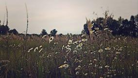 Маргаритки в поле Стоковые Изображения RF