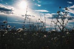 Маргаритки в русском поле стоковые фото