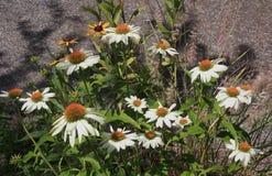 Маргаритки в саде задворк с тенями Стоковая Фотография