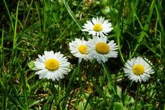 Маргаритки в траве Стоковая Фотография RF