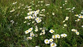 Маргаритки в траве Стоковая Фотография