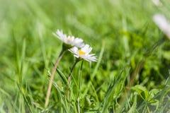 2 маргаритки в фокусе зеленой травы селективном Стоковое Изображение