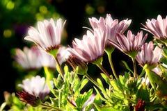 маргаритки греют на солнце вниз Стоковая Фотография