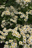 Маргаритки для того чтобы просиять сад стоковые изображения
