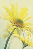 Маргаритки лета желтые стоковое фото