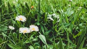 Маргаритки зацвели на предпосылке травы стоковая фотография rf