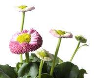 маргаритки изолированные весна Стоковая Фотография